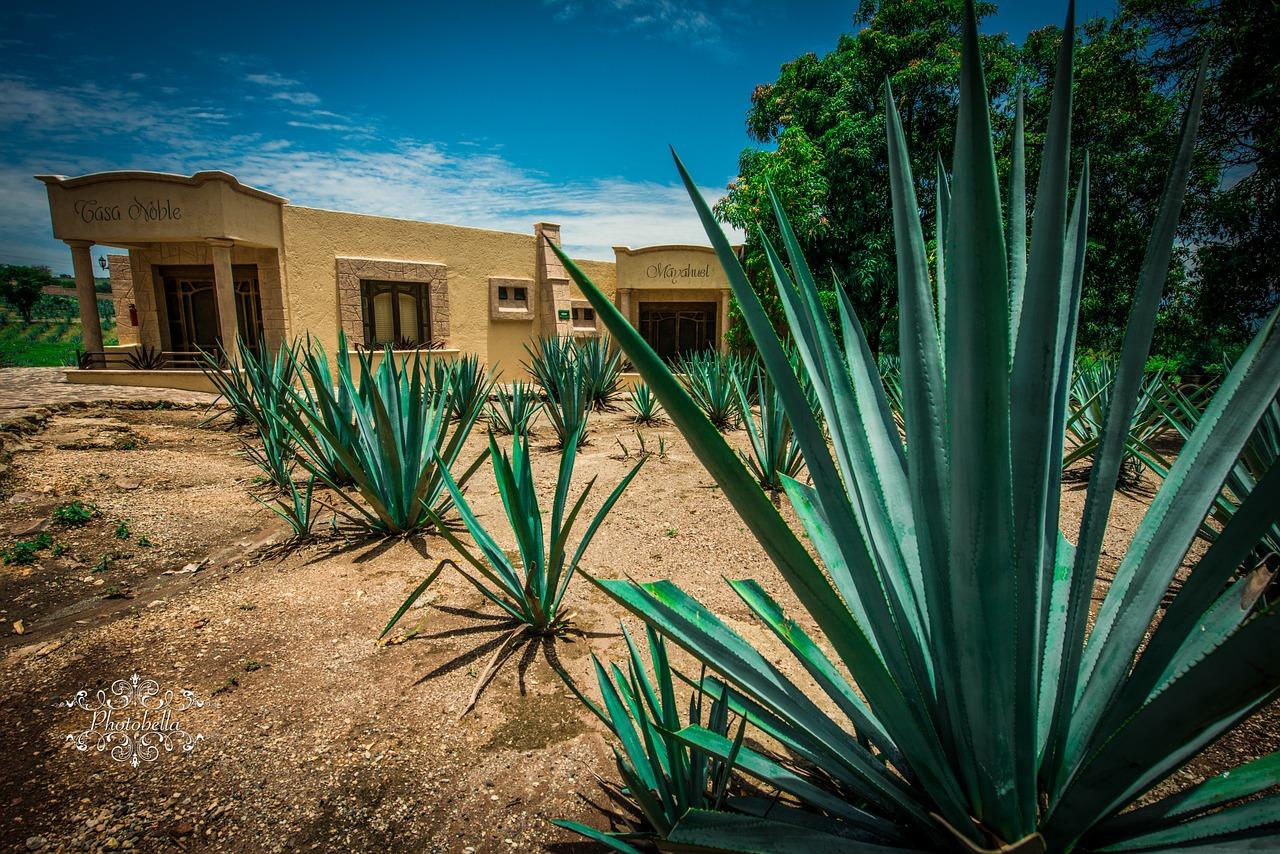 Agave Plant in guadalajara