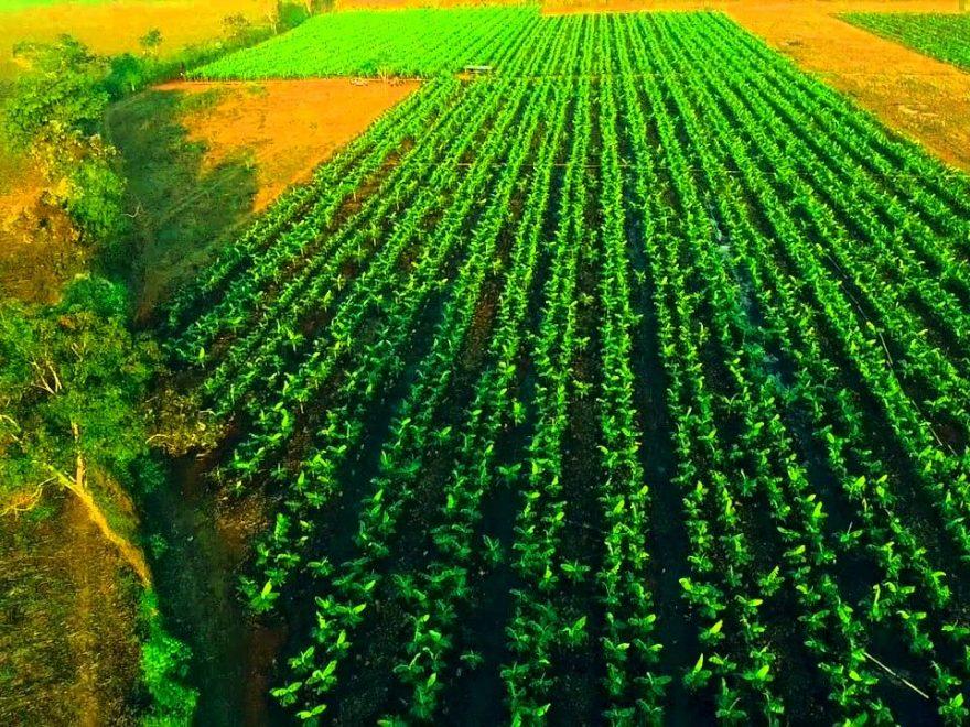 campo de siembra de plátanos